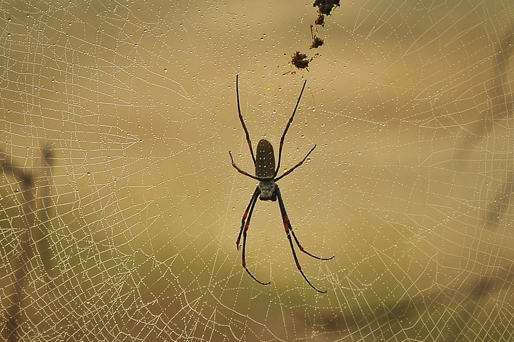 2012-12-17 Golden silk orb-weaver