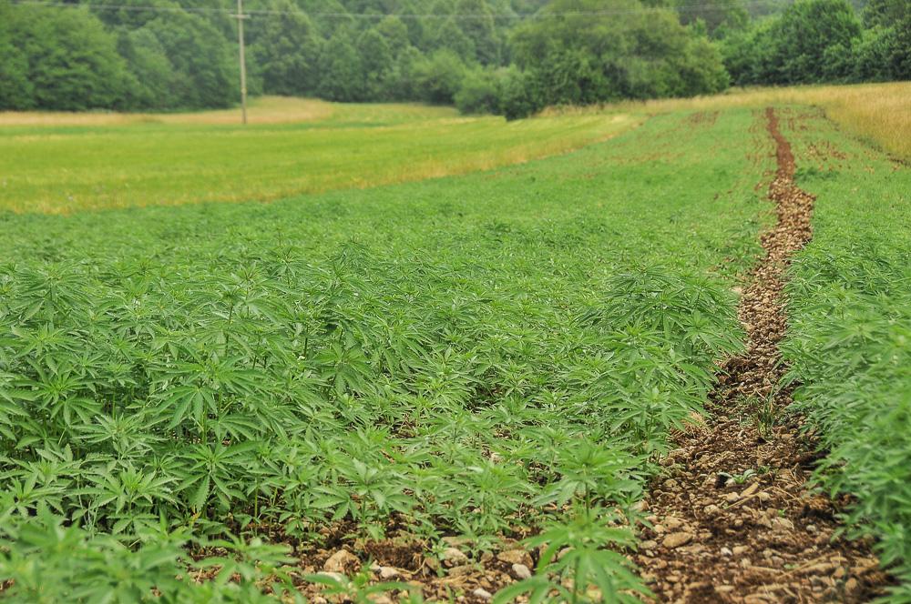 Cannabis plantage